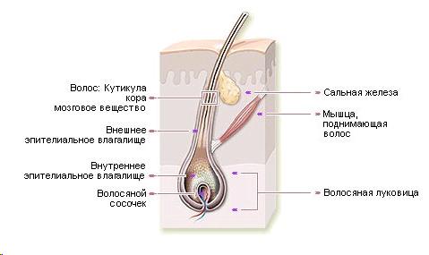 Строение волоса Фото 1